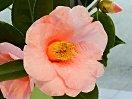 やや紫を帯びた桃色 花底は色が濃い 一重 ラッパ咲き 中輪