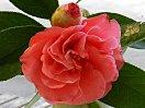 紅色 八重 牡丹咲き 割りしべ 大輪