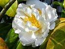 白色 八重 牡丹咲き 中輪