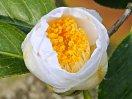 純白色 半八重咲き 中輪