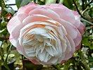 明桃色底白ぎみ 千重咲き 大輪