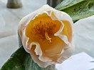 極淡桃色を淡黄色で覆ったような色 一重 抱え咲き 筒しべ 中輪