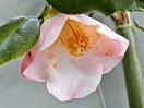 白地 外弁が紅色ぼかし 一重 キキョウ咲き 筒しべ 小〜中輪