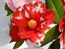濃紅色地 白斑入り 細長弁の八重咲き 中〜大輪