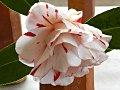 白色地 紅覆輪 紅縦〜小絞り 八重 蓮華〜牡丹咲き 筒〜割りしべ 大輪