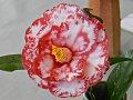 濃紅色地 大小の白斑入り 八重 蓮華咲き 筒しべ 大輪