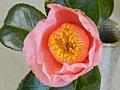 桃色 一重 筒咲き 太く白い筒しべ 弁端波曲 中輪