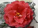 紫桃色 11〜15センチ 30〜34枚の花びら