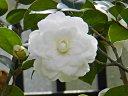白色 重ねの厚い千重咲き 細長い樋状弁は時に列弁咲きにもなる 中輪