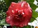 紅色地 白斑入り 八重 牡丹咲き 割しべ 大輪