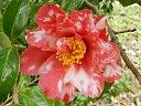 濃紅色地 白斑入 長弁の八重咲き 割りしべ 中輪