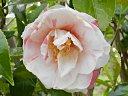 白色や 桃色地に白覆輪などに咲き分ける 一重 筒〜ラッパ咲き 筒しべ 中輪