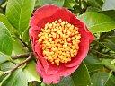 鮮紅色 稀に白筋が入る 一重 平開咲き 花糸淡紅 輪芯 中輪