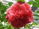 紅色 牡丹咲き 花びらは波打つ トウツバキ状芯 大輪