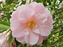 淡桃色 八重咲き 中輪