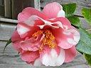 桃色地 白斑入り 八重咲き 大〜極大輪