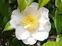 白色地 淡桃色ぼかし 八重咲き 中輪
