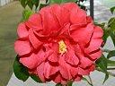 濃紅色 牡丹〜八重咲きで盛り上がる 中輪